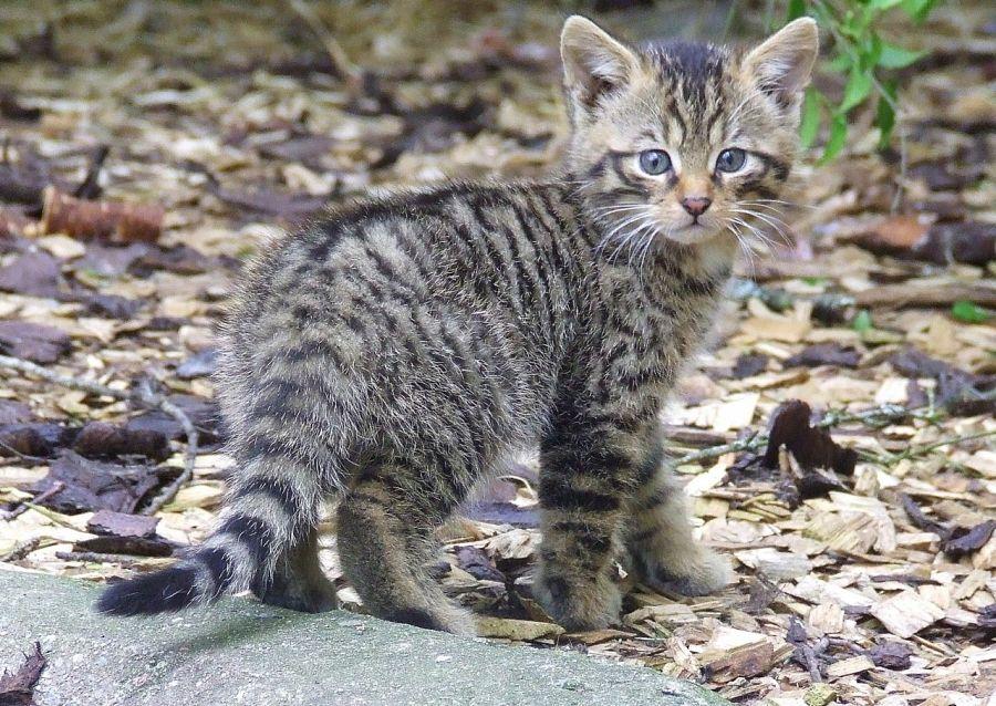 котенок лесного кота