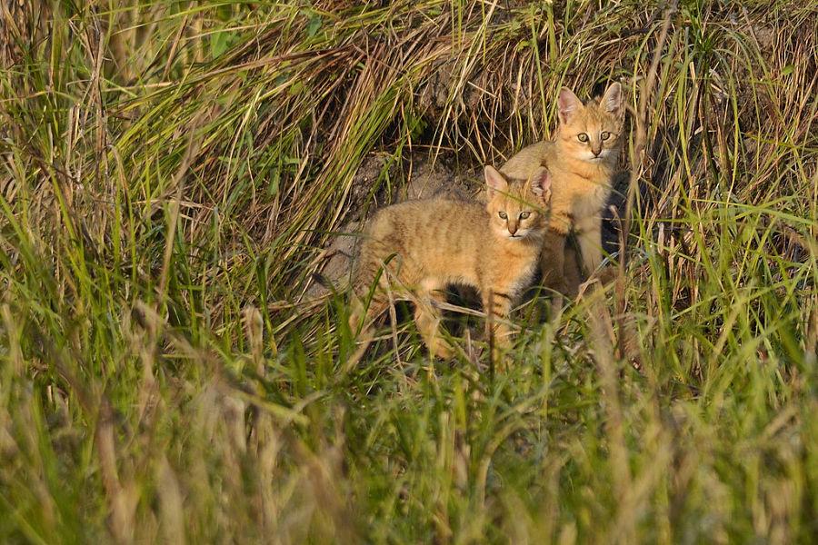 котята болотной рыси