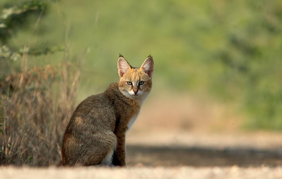 красивый дикий камышовый кот