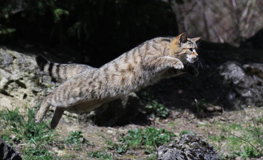 лесной кот в прыжке