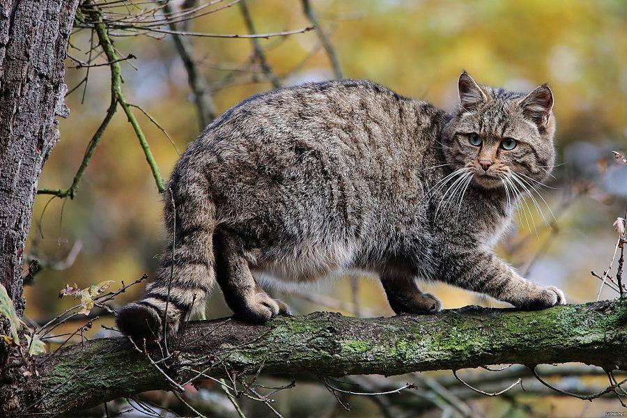 лесной кот на дереве фото