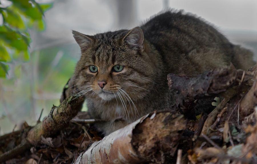 лесной кот на отдыхе