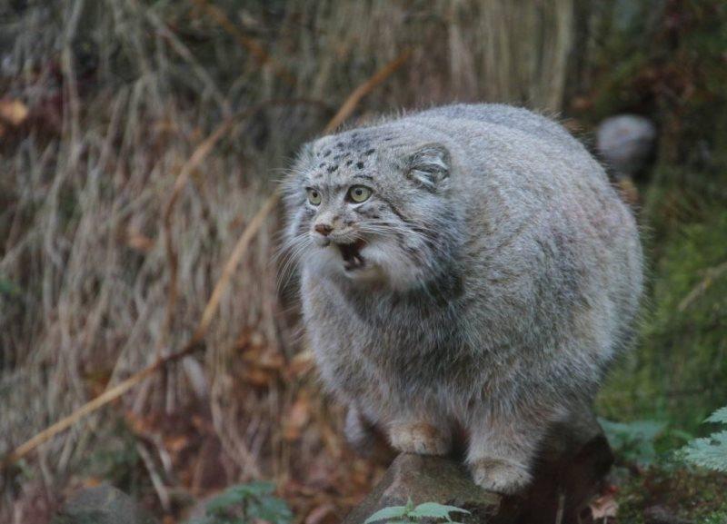 манул животное с самым густым мехом из всех кошачьих