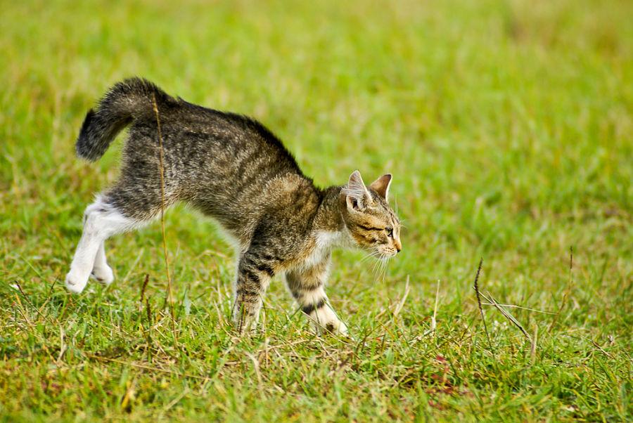 молоденький дикий европейский кот