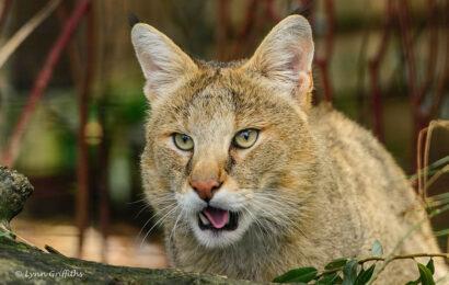 морда камышового кота вблизи