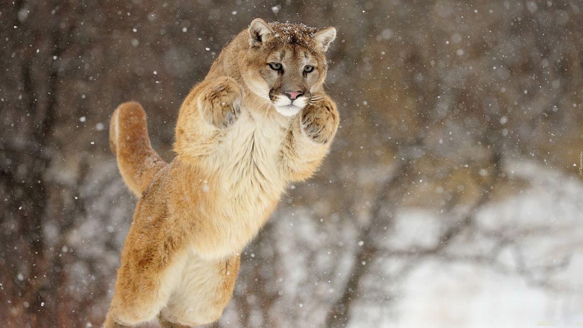 пума в прыжке в снегу