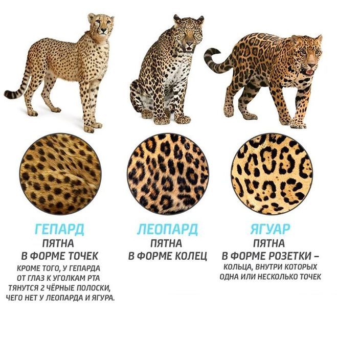 различия в окрасе гепарда-леопарда-ягуара