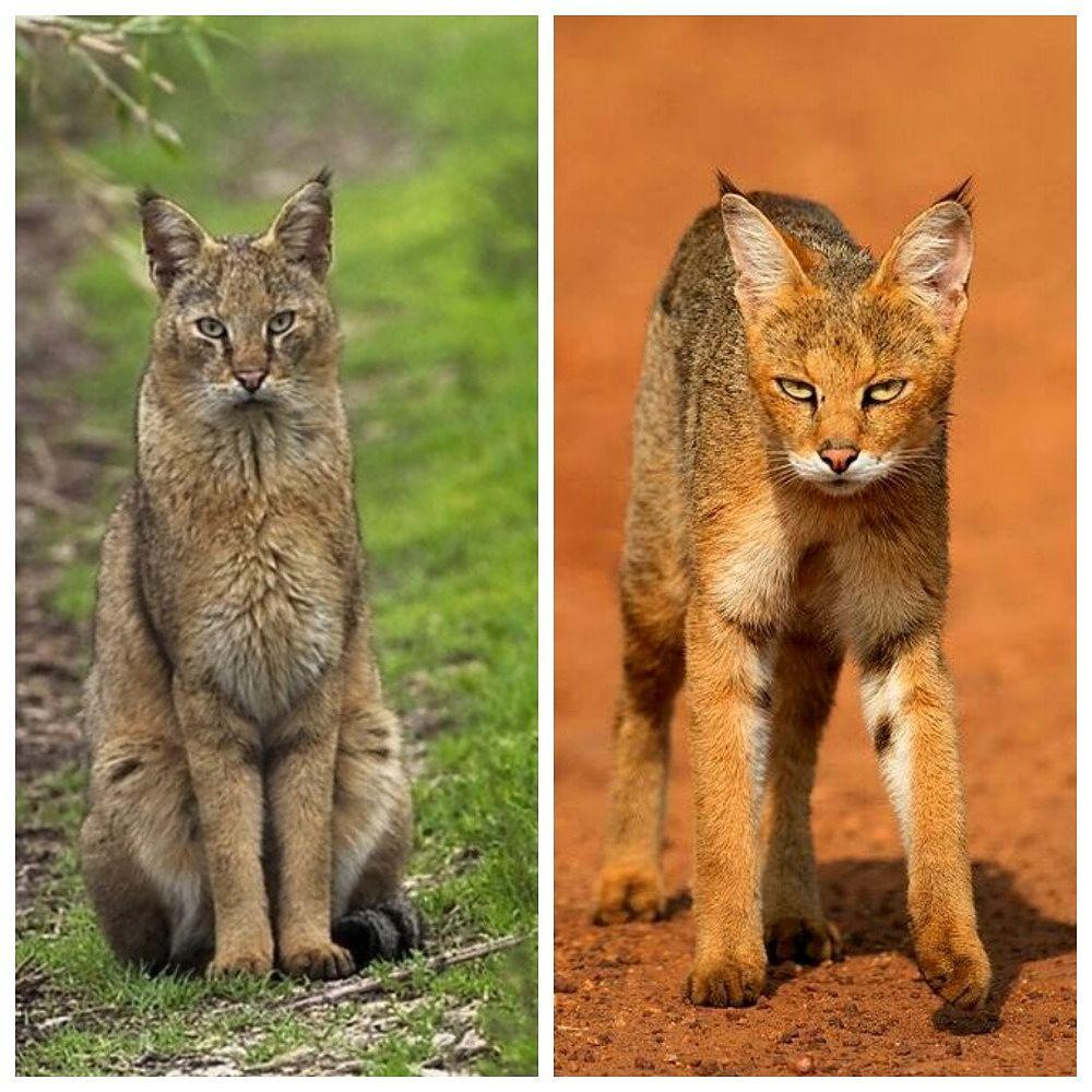 рыжий и серый камышовый кот