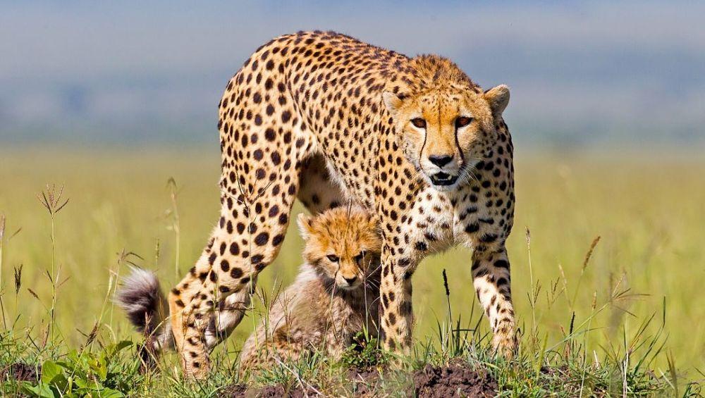 самка гепарда защищает детеныша фото