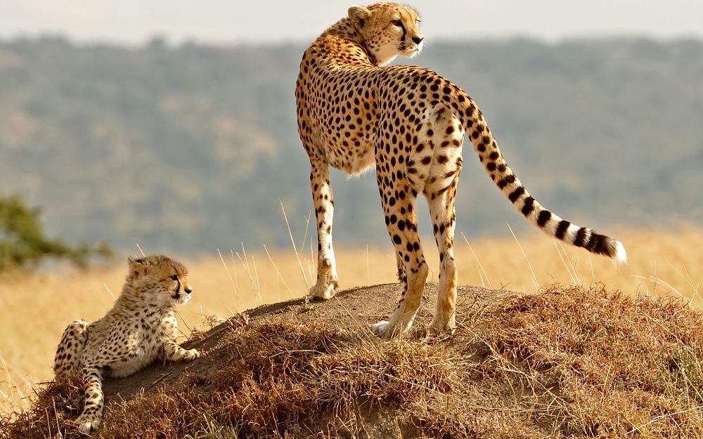 самка гепарда с детенышем на возвышенности