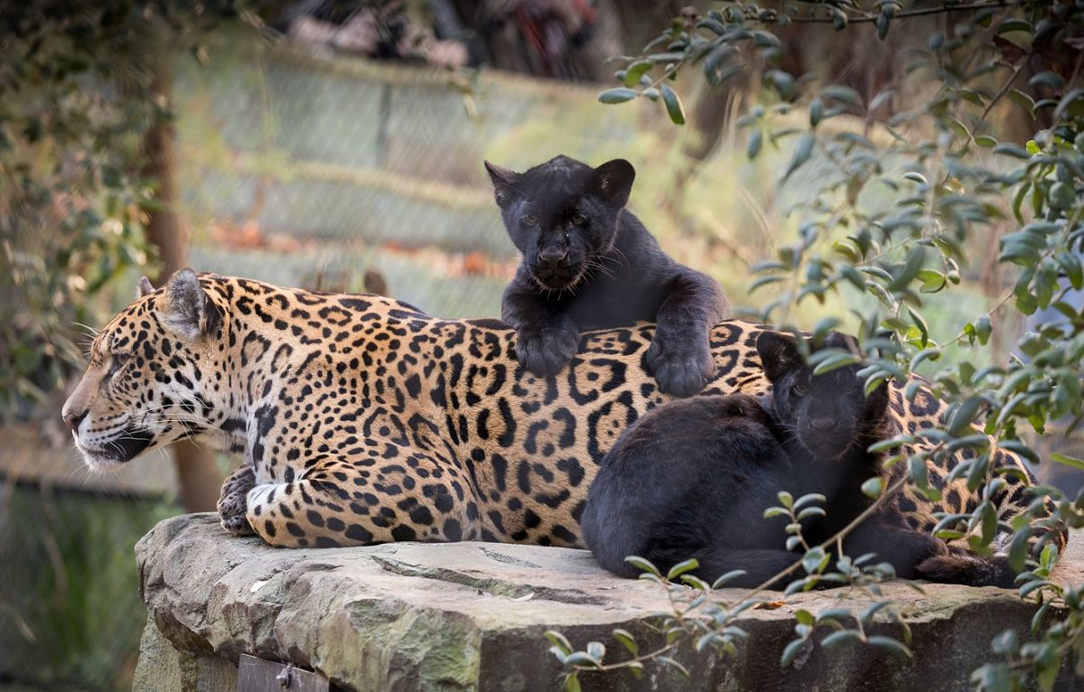 самка ягуара с черными котятами