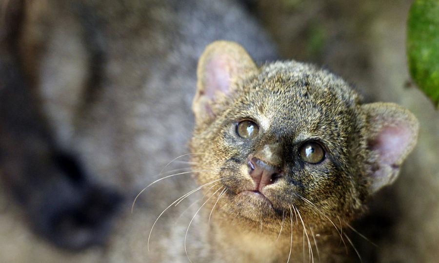 серый котенок ягуарунди