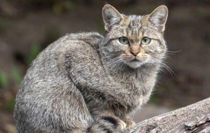 серый лесной кот фото