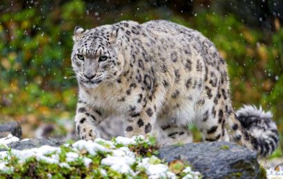 снежный барс в дикой природе