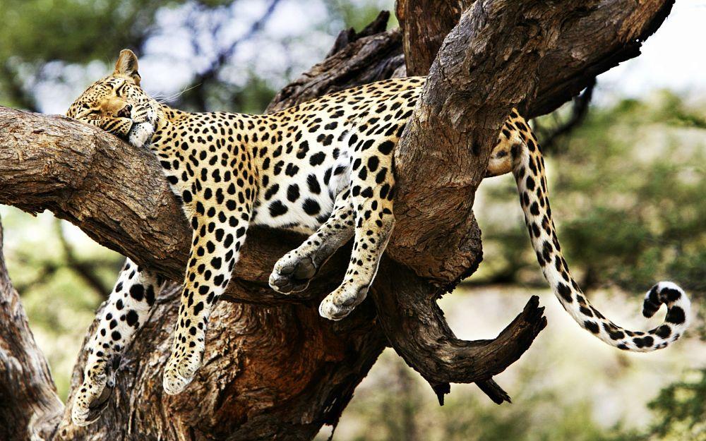 спящий на дереве леопард