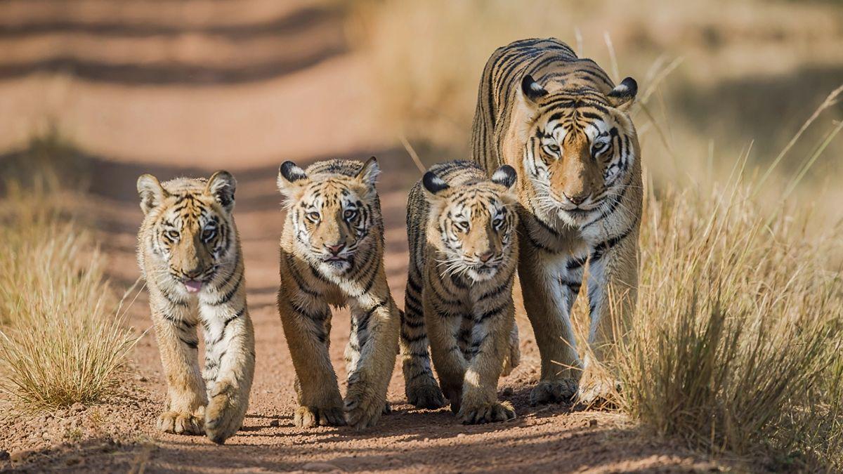 тигрица с подросшими детенышами