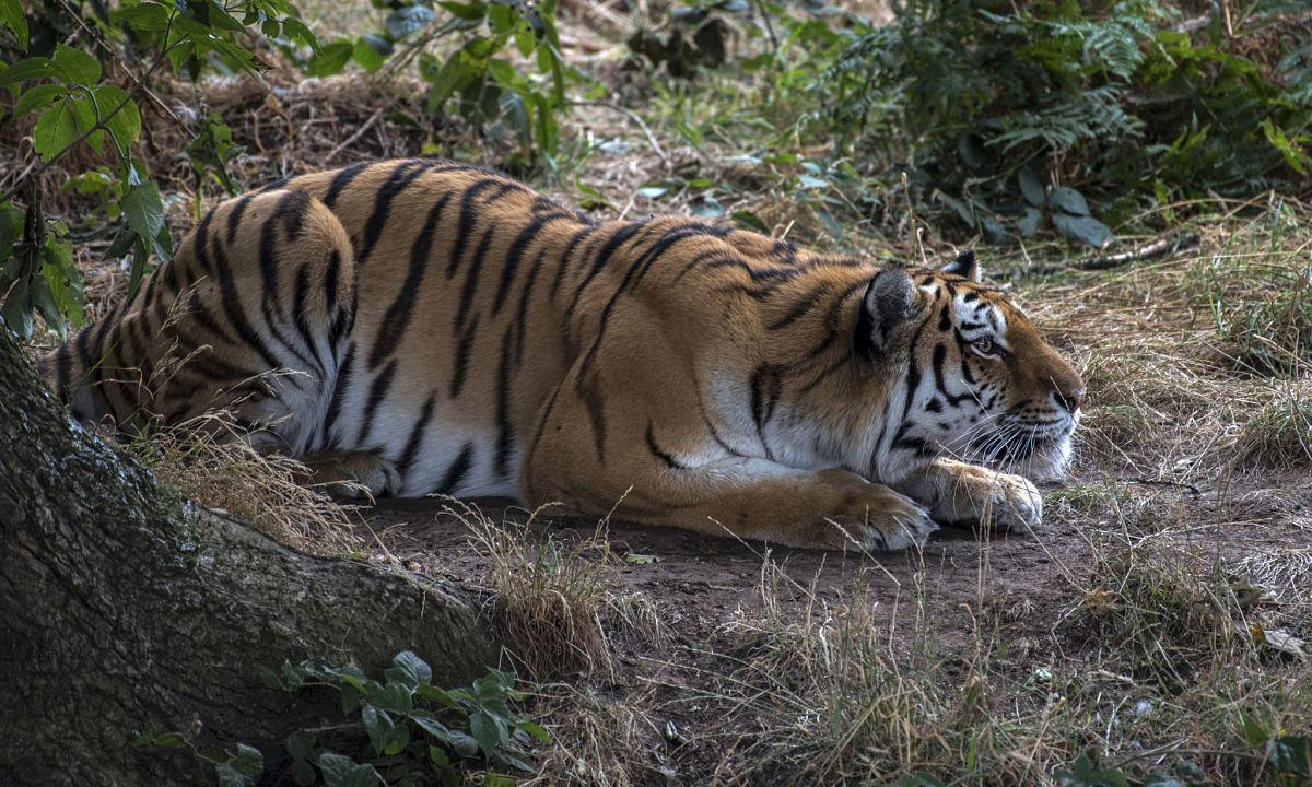 тигр в засаде