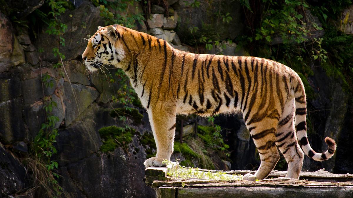 тигр красивый в профиль