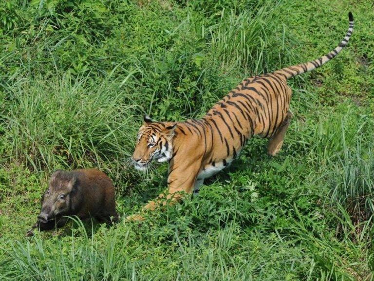 тигр охотится на дикого кабана