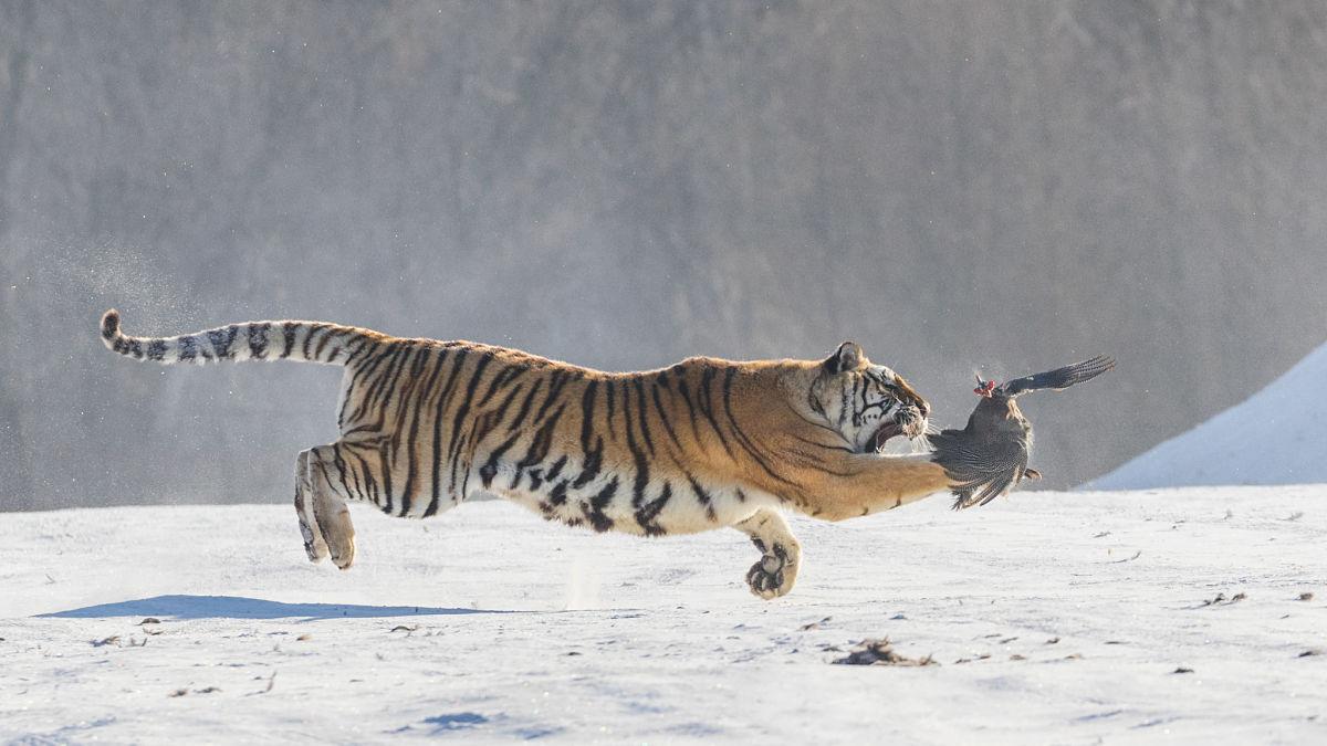 тигр охотится на птицу