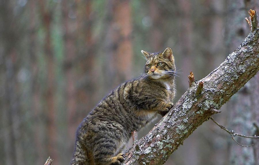 шотландский дикий кот на стволе дерева