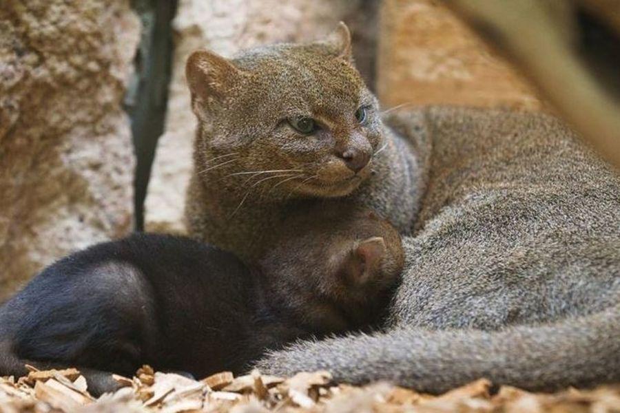 ягуарунди кошка с котенком