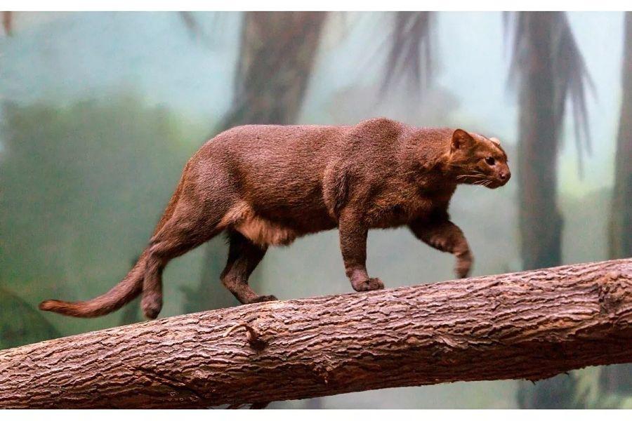 ягуарунди на дереве