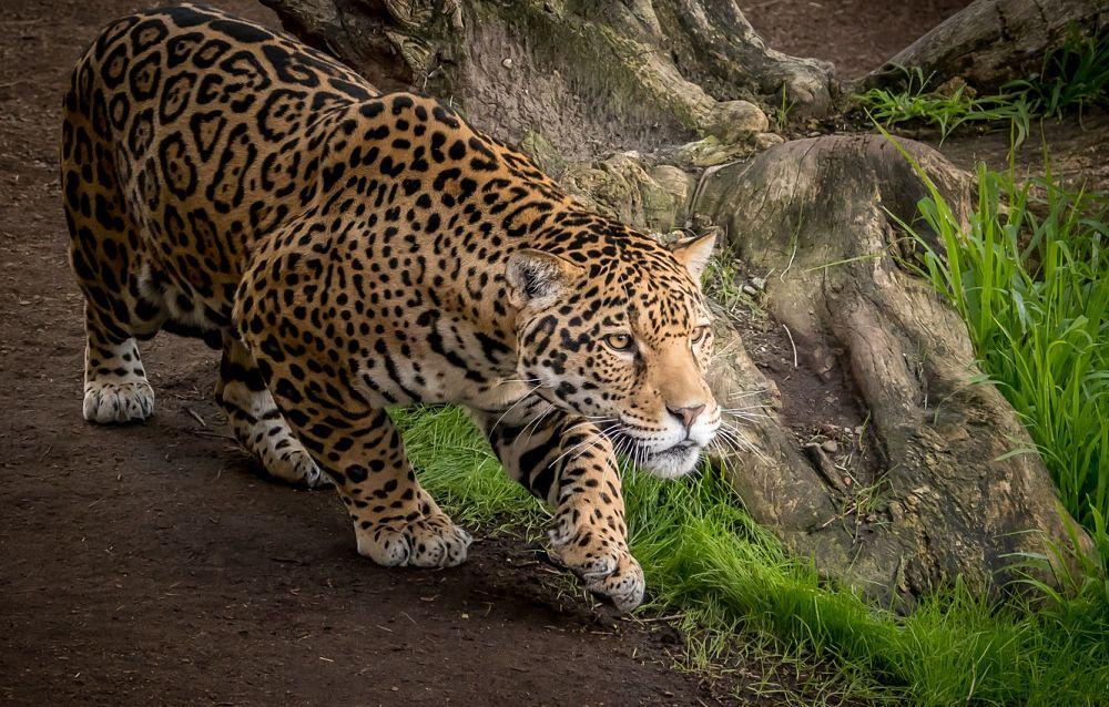 ягуар большая кошка хищник