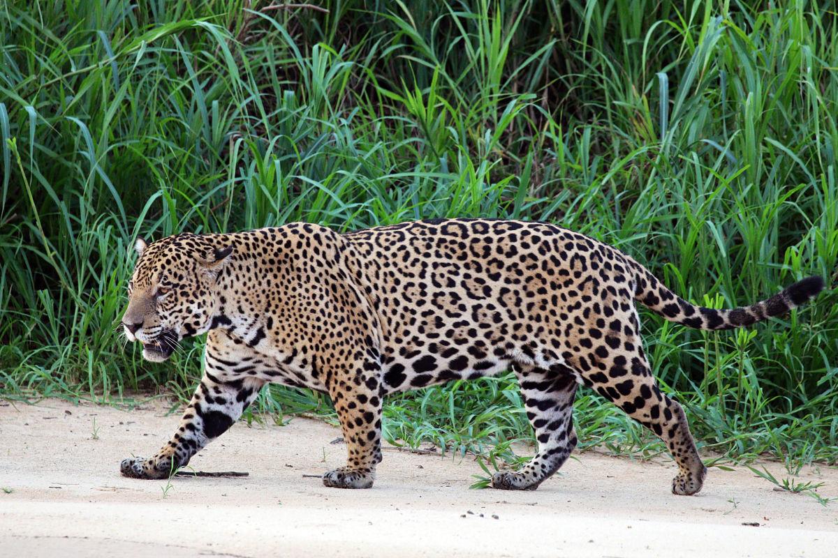 ягуар в зарослях у воды