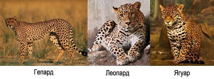 ягуар гепард и леопард отличия