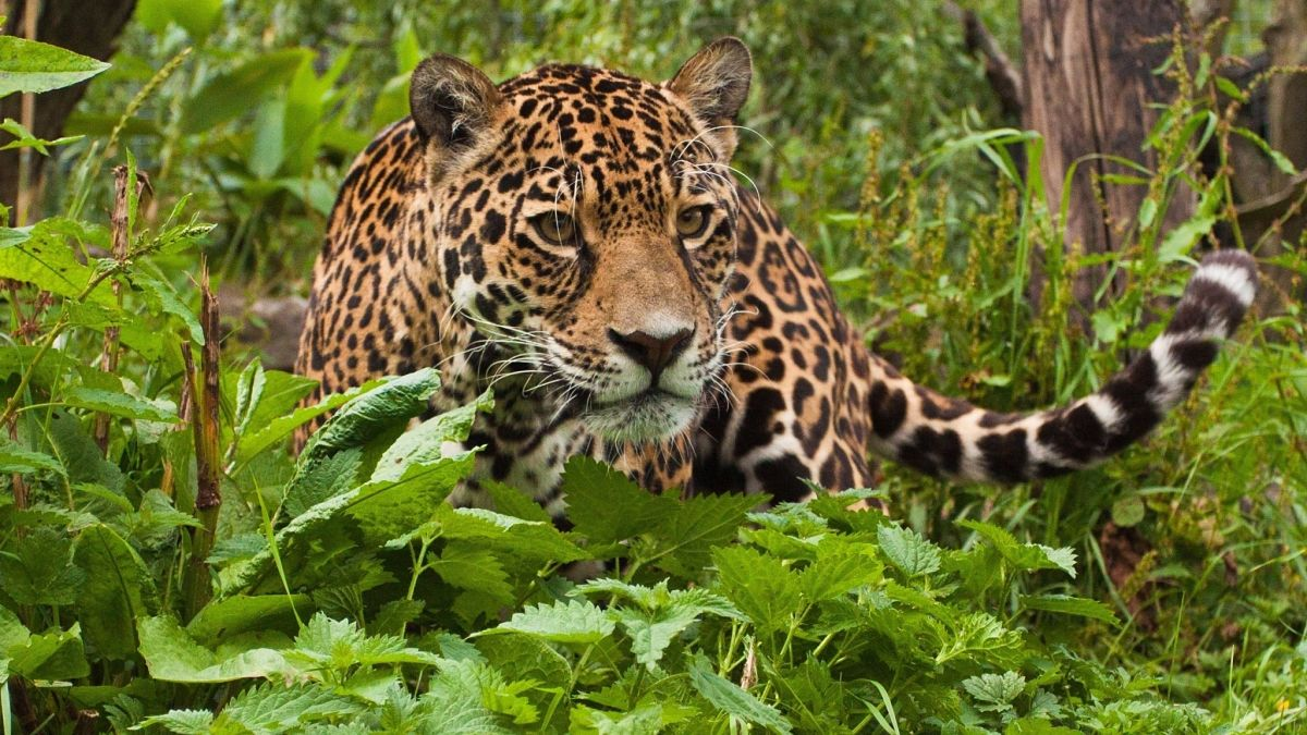 ягуар морда хищника крупным планом