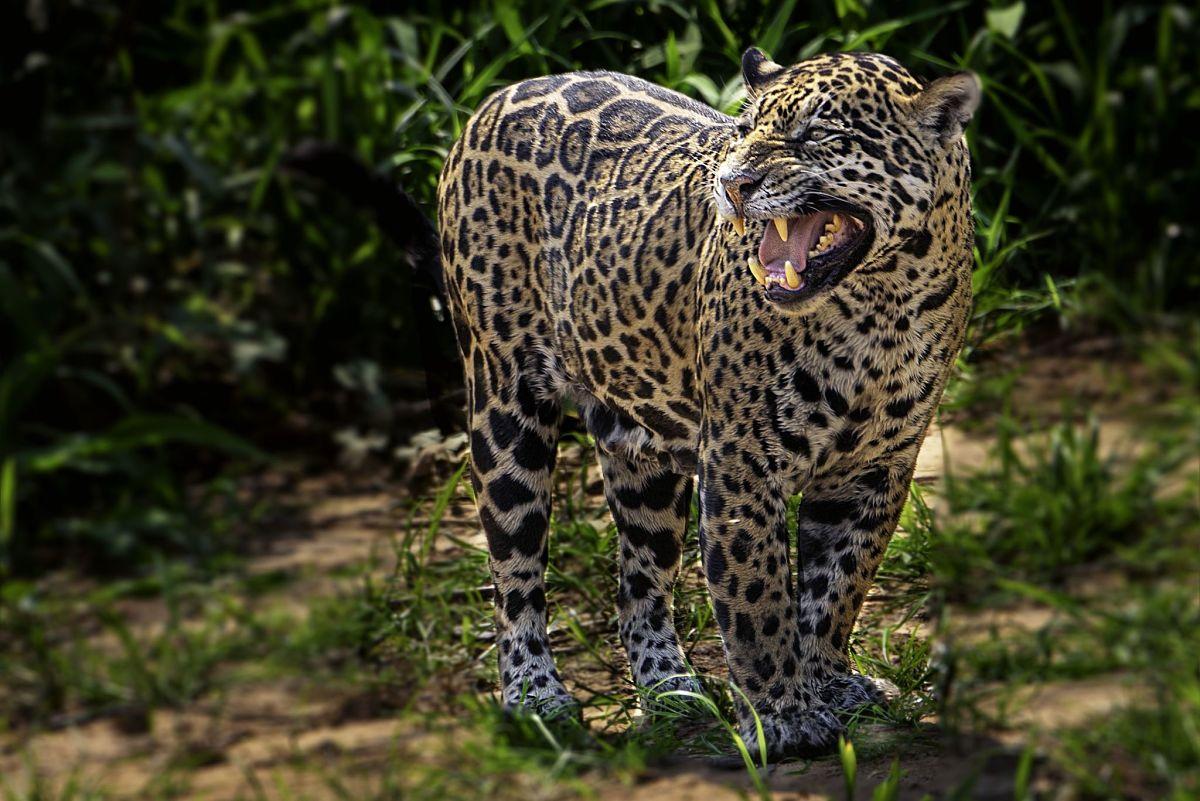ягуар с оскалом