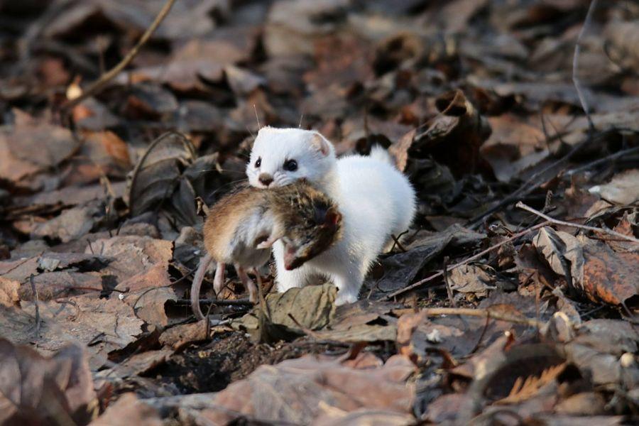 белая ласка с мышью в зубах