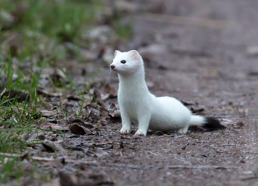 белый горностай
