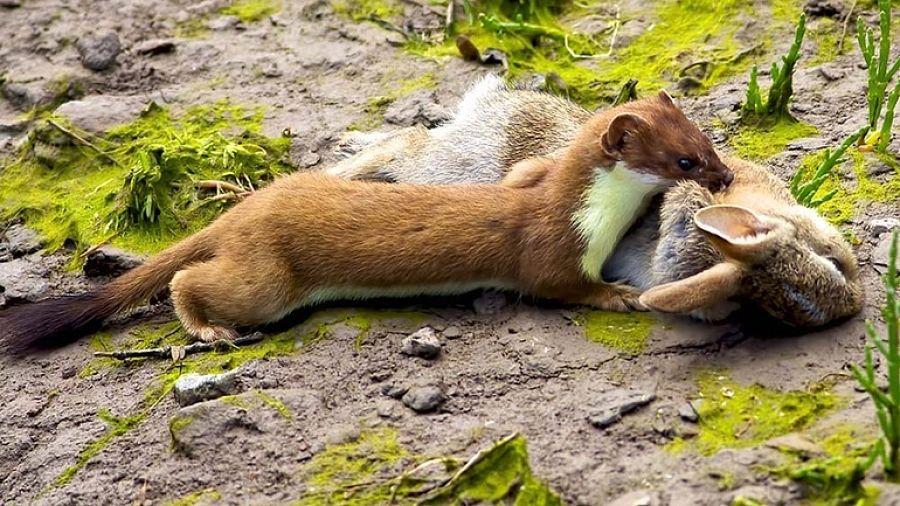 горностай с зайцем в зубах