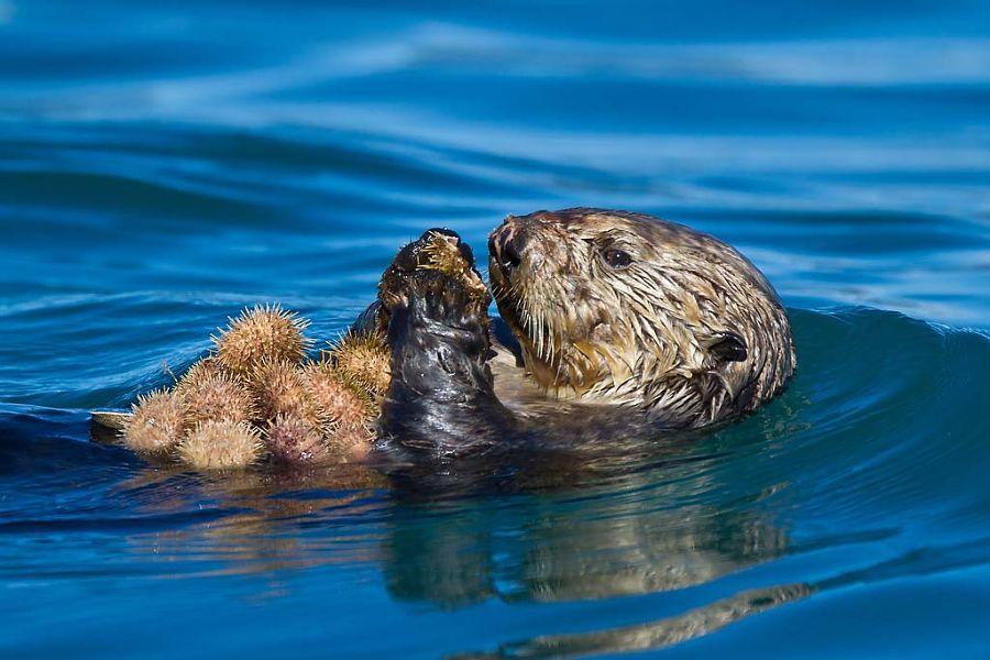 калан ест морских ежей