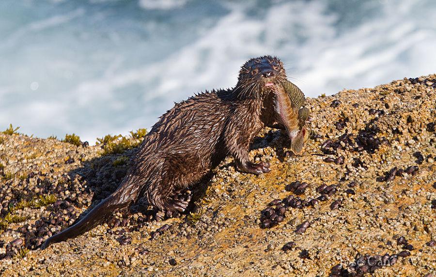 морская кошачья выдра фото