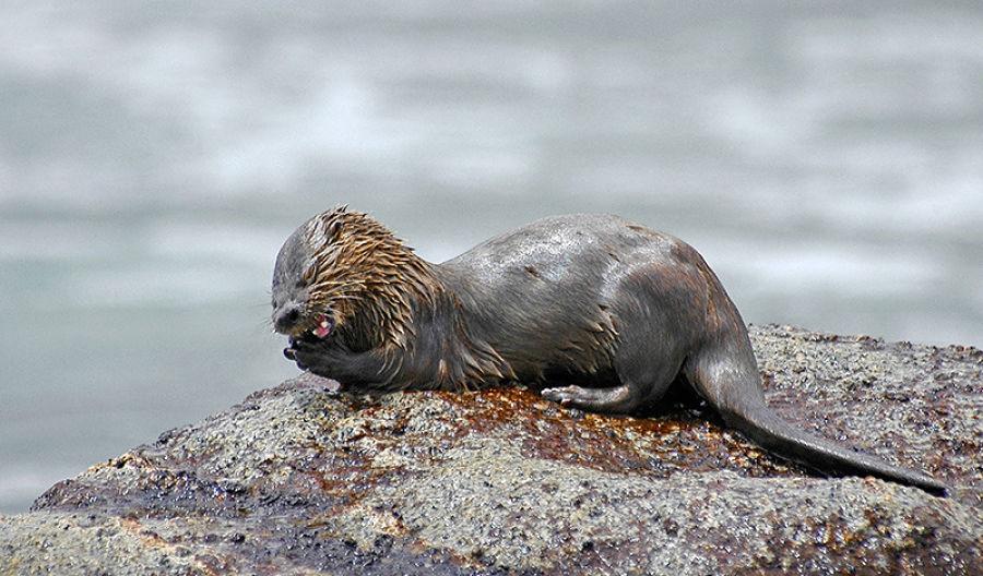 морская кошачья выдра