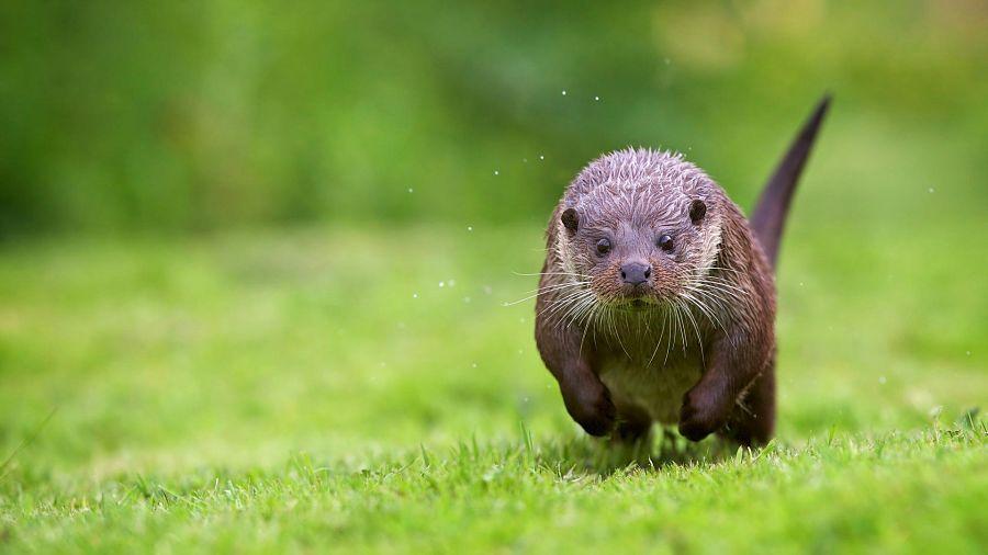 речная выдра бежит по траве