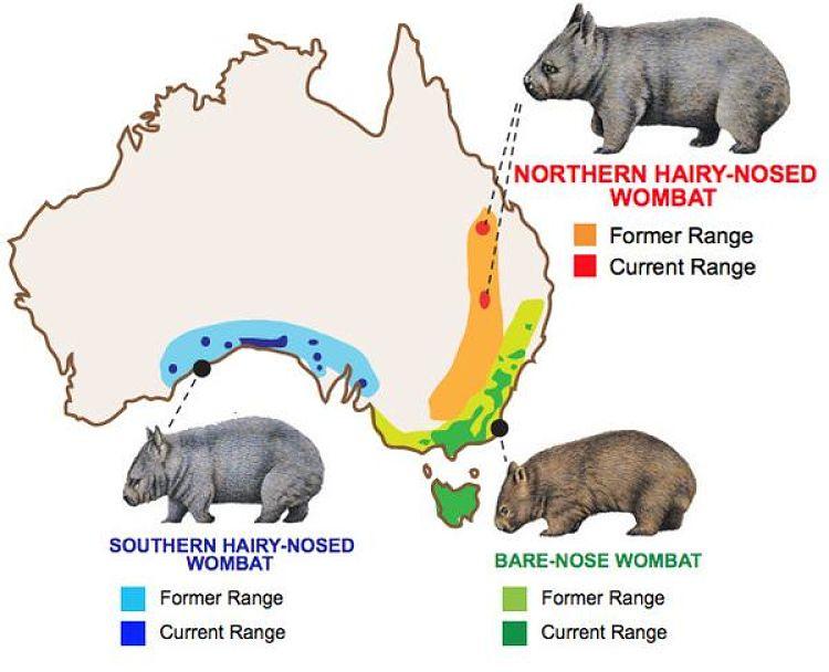 виды вомбатов и ареалы обитания на карте