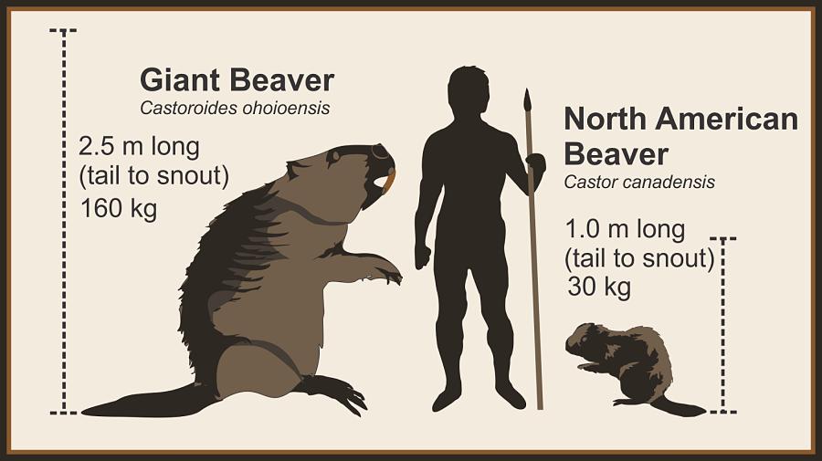 доисторические бобры размеры в сравнении с человеком и современными