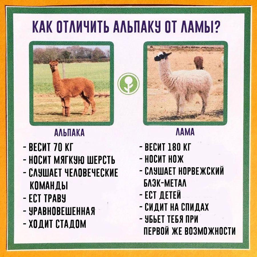 как отличить альпаку от ламы