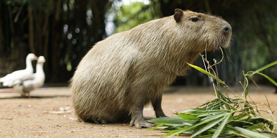 капибара ест траву
