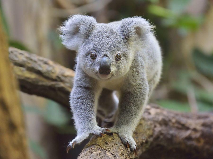 коала идет по ветке