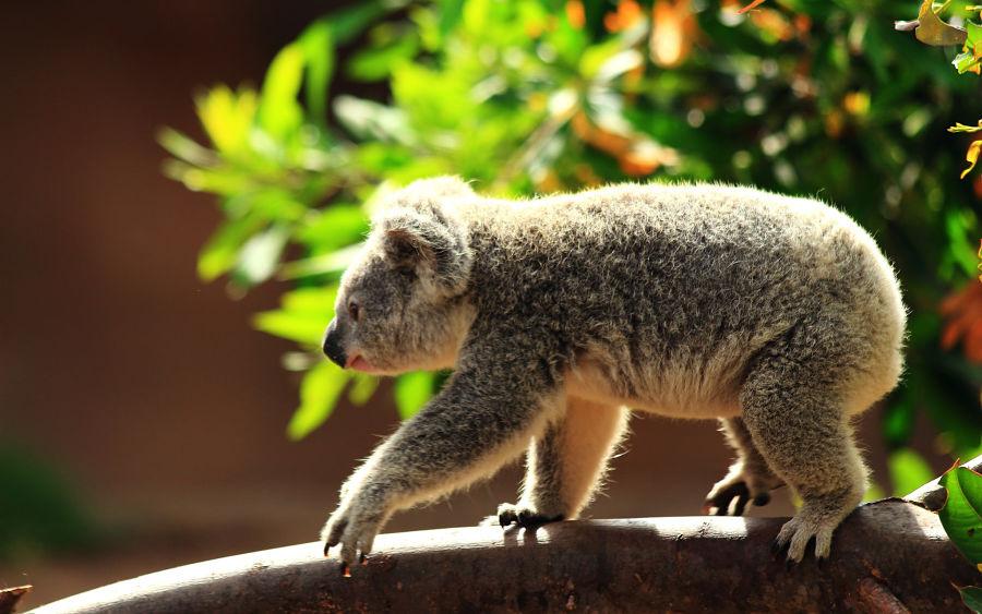 коала идет по стволу дерева