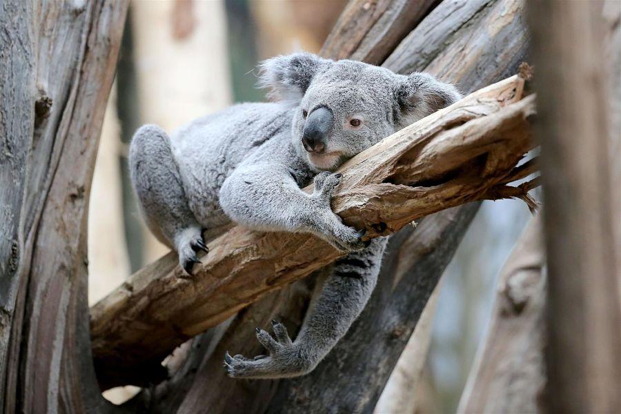 коала лежит на ветке
