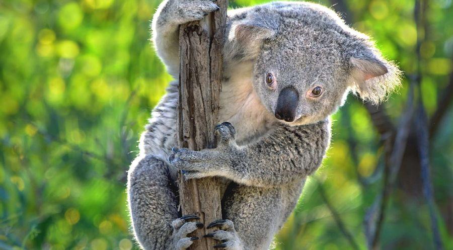 коала на ветке крупным планом