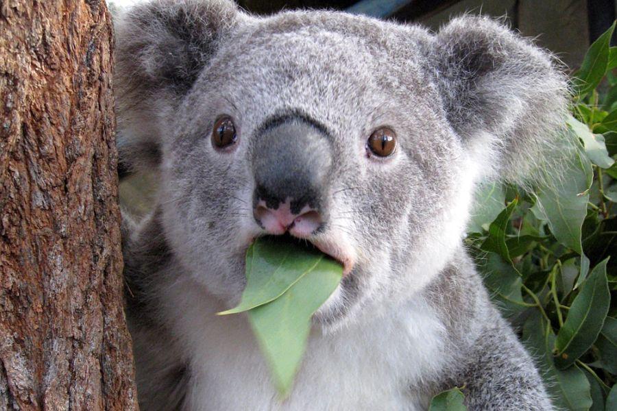 коала питается листьями