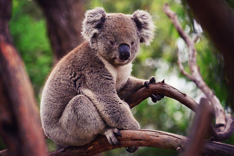 коала сидит на ветке