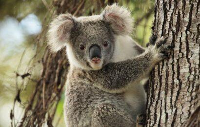 коала смешное фото